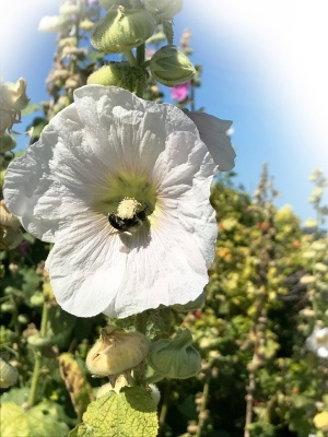 Hollyhock and Bumblebee ~ Photo by Patrice