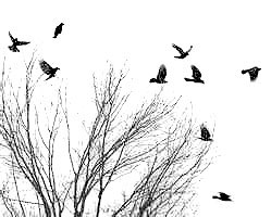 Flying Crows ~ image courtesy of Stock Photos