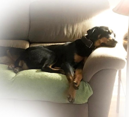 Rottie Sleeping ~ Photo by Patrice