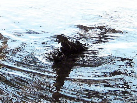 Crocodile ~ Photo by Patrice