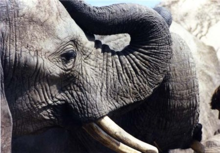 Elephants from the Toronto Zoo, now in the PAWS Wildlife Sanctuary in California ~ Photo by Patrice