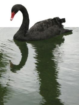 Black Swan ~ Photo by Patrice