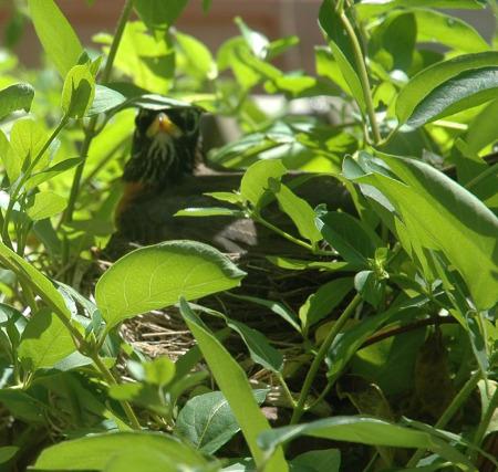Hidden Robin ~ Photo by Patrice