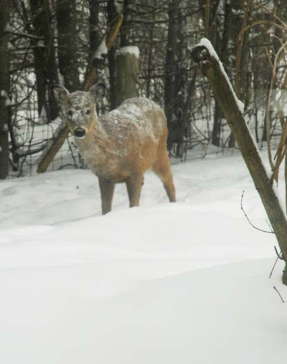 Snowy Deer ~ Photo by Patrice