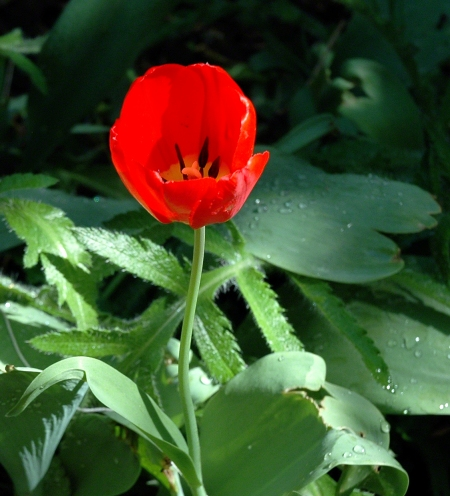 Red Tulip ~ Photo by Patrice