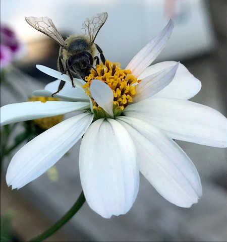 Bee and Flower ~ Photo by Patrice