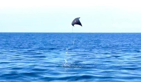 Flying Stingray ~ Photo by Patrice