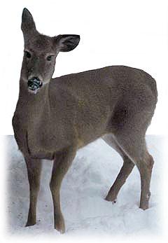 Perplexed Deer  ~ Photo by Patrice