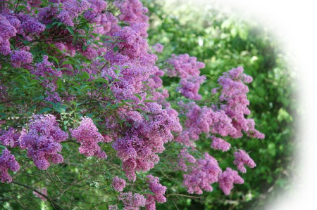 Spring Lilacs ~ Photo by Patrice