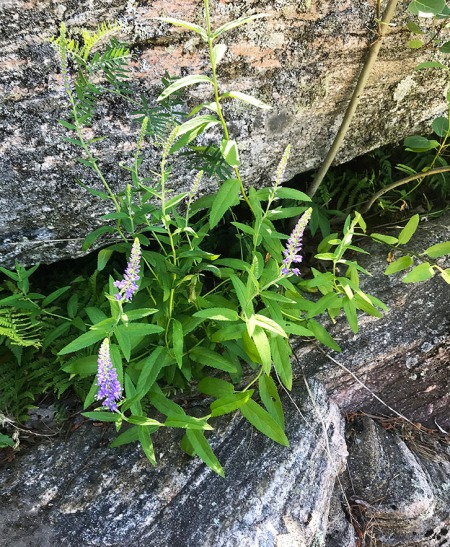 Purple Flower on Rock ~ Photo by Patrice