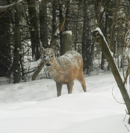 Deer in snow ~ Photo by Patrice