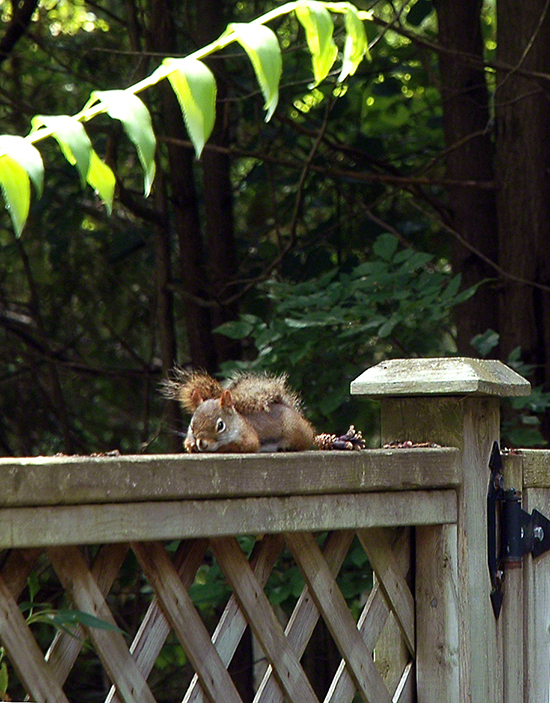 Sleeping Squirrel ~ Photo by Patrice
