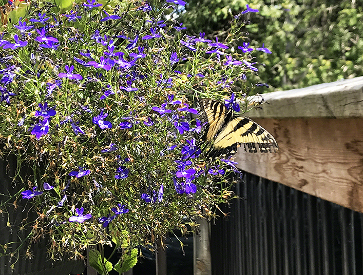 Butterfly and Blue Flowers ~ Photo by Patrice